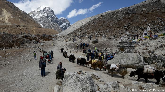 Los yaks son utilizados para transportar el material de expedición al campamento base del Everest.
