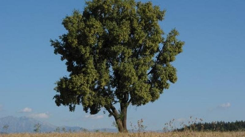 El quillay es un árbol endémico de la Zona Central de Chile.